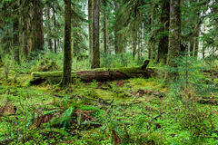 Green forest in Olympic national park Royalty Free Stock Images