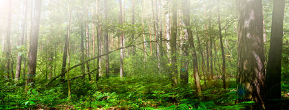 Green forest panorama Royalty Free Stock Photography