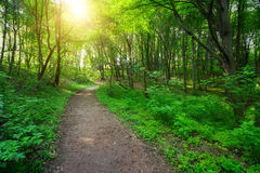 Green forest with pathway and sun light. Between the trees Stock Images