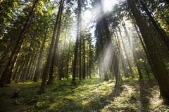 Green forest with rays Royalty Free Stock Images