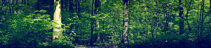 Green forest scenery in panorama Royalty Free Stock Images