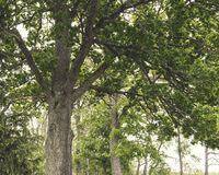 Green forest in spring/summer, large tree and branches with bright sky in the background royalty free stock photos