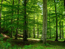 Green Forest. In spring on a sunny day in the month of May Royalty Free Stock Photography
