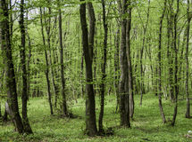 Green forest in spring Royalty Free Stock Images