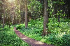 Green forest in the summer. Natural scene of trees in wild forest. Beautiful nature of woodland. Green plant in park. Green forest in the summer. Natural scene royalty free stock photography