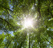 Green forest. Sun light through treetops. Royalty Free Stock Photo