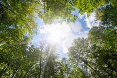 Green forest. Sun light through treetops. stock photo