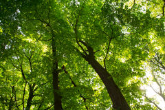 Green forest with sun peaking in royalty free stock photography