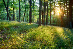Green forest with sun and rays Royalty Free Stock Image