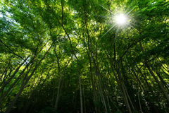 Green Forest with Sun Rays Stock Image