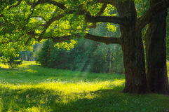 Green Forest in sunrise. Beautiful landscape background. Park with Green Grass and Trees Royalty Free Stock Photo