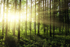 Green forest. At sunset sunrise sun and sunbeams stock photos
