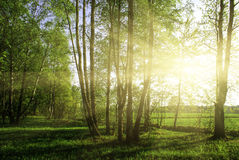 Green forest. At sunset sunrise sun and sunbeams stock images