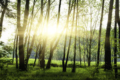 Green forest. At sunset sunrise sun and sunbeams stock photo