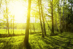 Green forest. At sunset sunrise sun and sunbeams royalty free stock photos