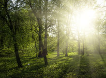 Green forest. At sunset sunrise sun and sunbeams stock image