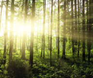 Green forest. At sunset sunrise sun and sunbeams royalty free stock image