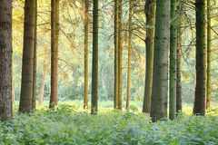Green Forest with Tall Trees. A forest with tall trees and a green floor, back lit by the afternoon sun Royalty Free Stock Photography