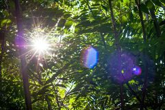 Green forest view and lens flare green tree natural outdoor park. Green forest tree and brunch with lens flare on sunny day background Royalty Free Stock Images