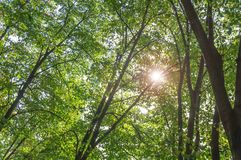 Green forest tree and brunch with lens flare on sunny day. Background Royalty Free Stock Images