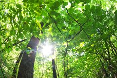 Green forest. Tree with green Leaves and sun light. Bottom view background stock photos
