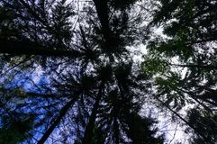 Tops of tall trees. stock image