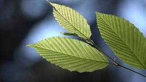 Green forest tree leaves macro detail. UHD 4K stock footage
