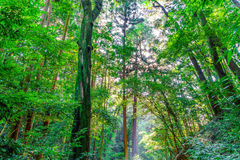 Green Forest trees Royalty Free Stock Photography