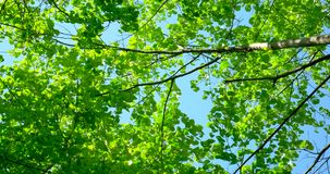 Green Forest Trees Against Sky. In Spring stock footage