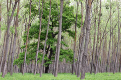 Green forest trees and foliage Royalty Free Stock Photo