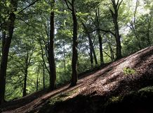 Green forest trees on a sloping steep hillside with dappled light. Green forest trees on a sloping steep hillside with dappled sunlight and shadows Royalty Free Stock Photography