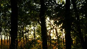 Green forest trees at sunset. Sun rays pass through the branches of trees. nature background stock video