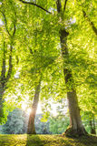 Green forest treetop with sunrays horizontal Stock Photo