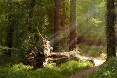 Green forest with trunk fallen and illuminated by sunbeams royalty free stock images