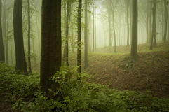 Green forest with vegetation and fog. Green beautiful forest with vegetation and fog in summer Stock Photography