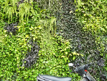 Green forest wall. Design of vertical garden. The many plants and flower hanged covered on the wall. Pattern of plants and part of motorcycle for background and stock photography