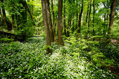 Green forest with wild garlic Royalty Free Stock Image
