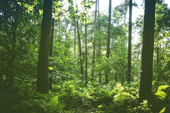 Green forest Royalty Free Stock Image