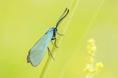 Green Forester moth Royalty Free Stock Photo