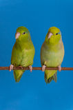 Green Forpus Coelestis Royalty Free Stock Photography