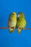 Green Forpus Coelestis royalty free stock photo