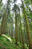 Green Forrest. Sunny green forest at spring Royalty Free Stock Images