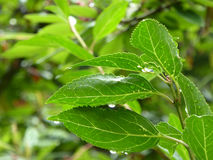 Green Forsythia Leaves with Raindrops Stock Images