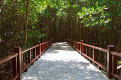 Green Forward. Walk way in mangrove forest Royalty Free Stock Images