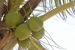 Four coconuts on the palm tree stock image