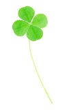 Green four leaf clover. Fresh, green four leaf clover isolated on white, clipping path included Royalty Free Stock Photos