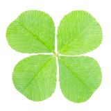 Green four leaf clover Stock Image