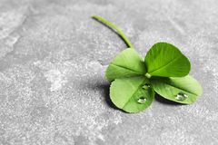 Green four-leaf clover on gray background. With space for text royalty free stock photos