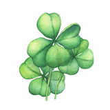 Green four leaf clover. Hand drawn watercolor painting on white background Stock Image