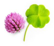 Green four-leaf clover leaf isolated Royalty Free Stock Image